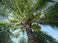 orzechy kokosowe